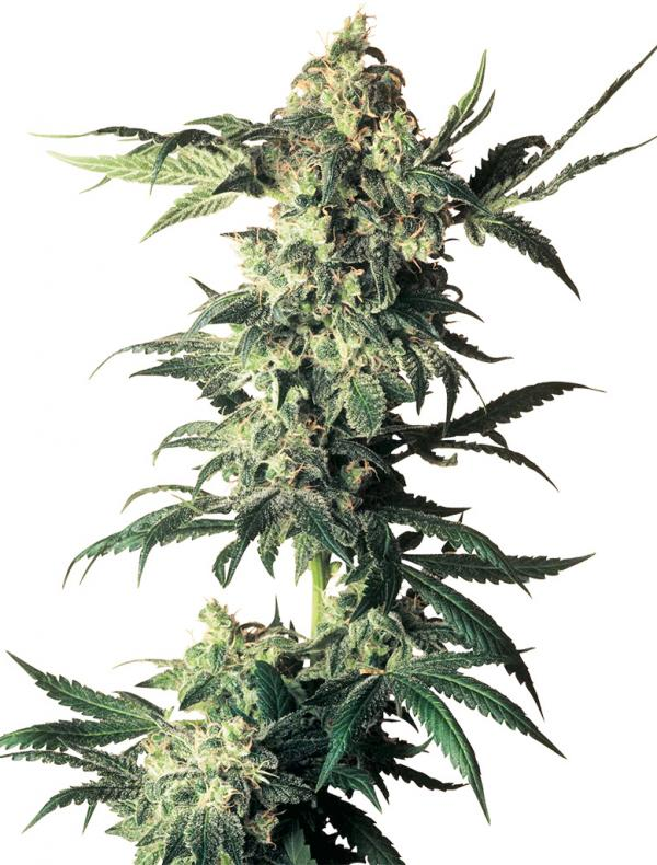 Northern Lights (10-seed pack)