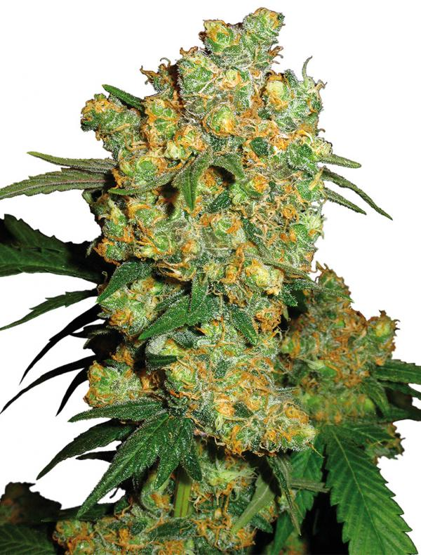 Big Bud (10-seed pack)