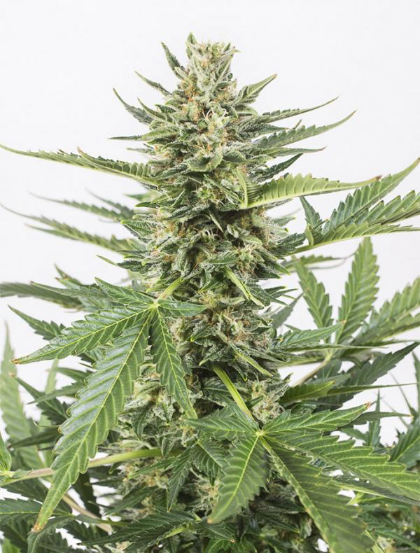 Cheese XXL Autoflowering (Pack 3 semillas)