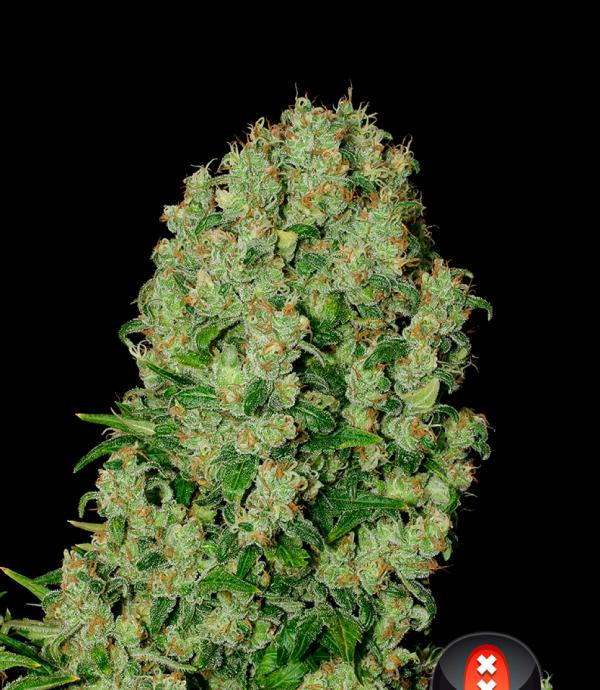 White Russian (Pack 6 graines)
