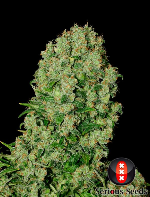 White Russian 100% (6-seed pack)