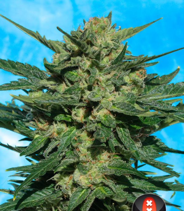 White Russian Auto (Pack 6 graines)