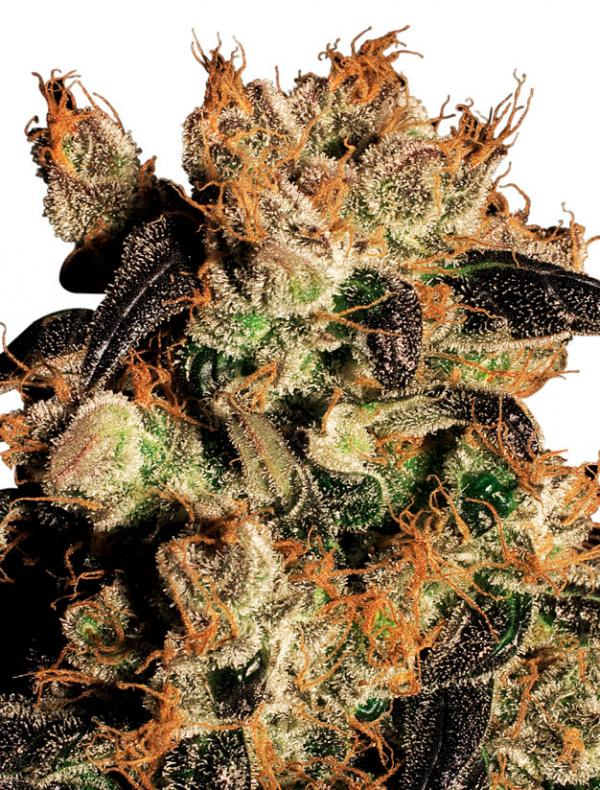 White Berry (3-seed pack)