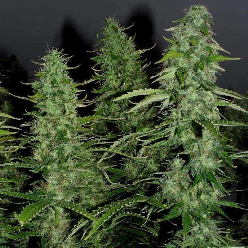 Сорт марихуаны ww картинки конопля приколы