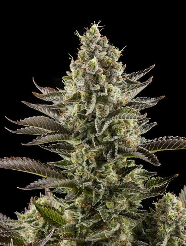 White Widow (Pack 10 graines)