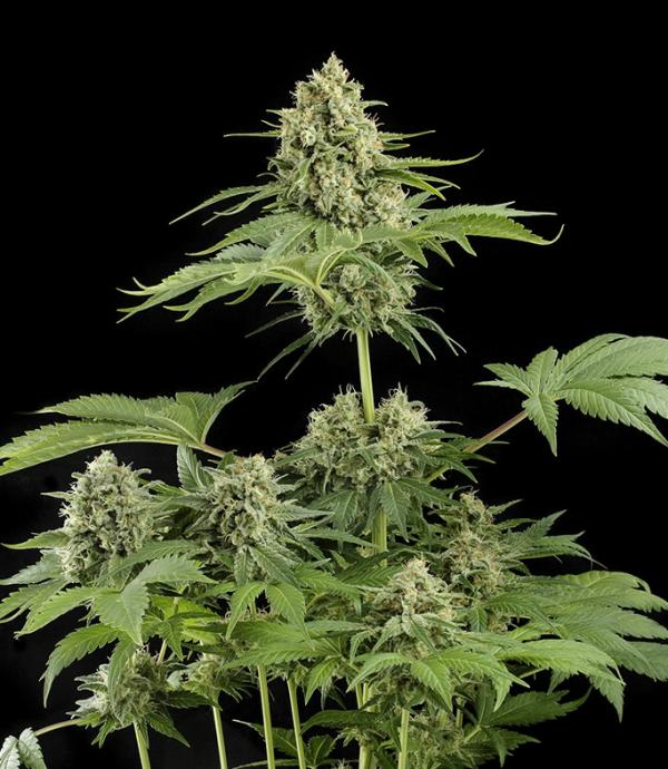Moby Dick (Pack 1 graine)
