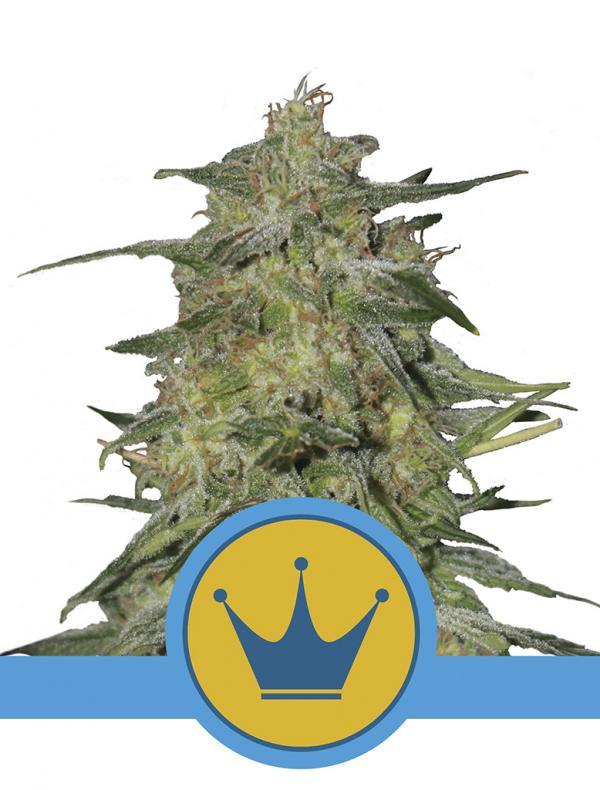 Royal Highness CBD (Pack 1 graine)