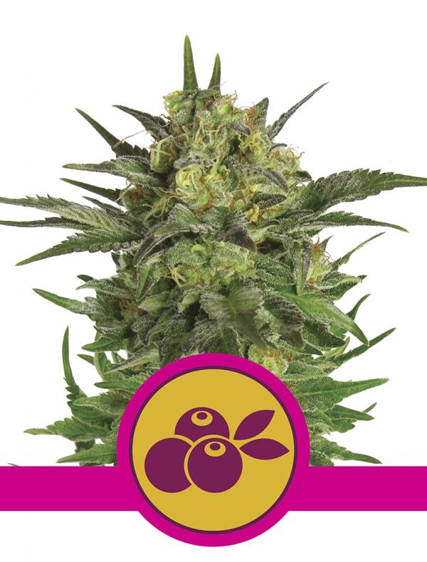 Haze Berry (1-seed pack)