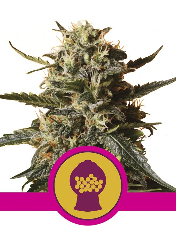 Bubblegum Xl (1-seed pack)