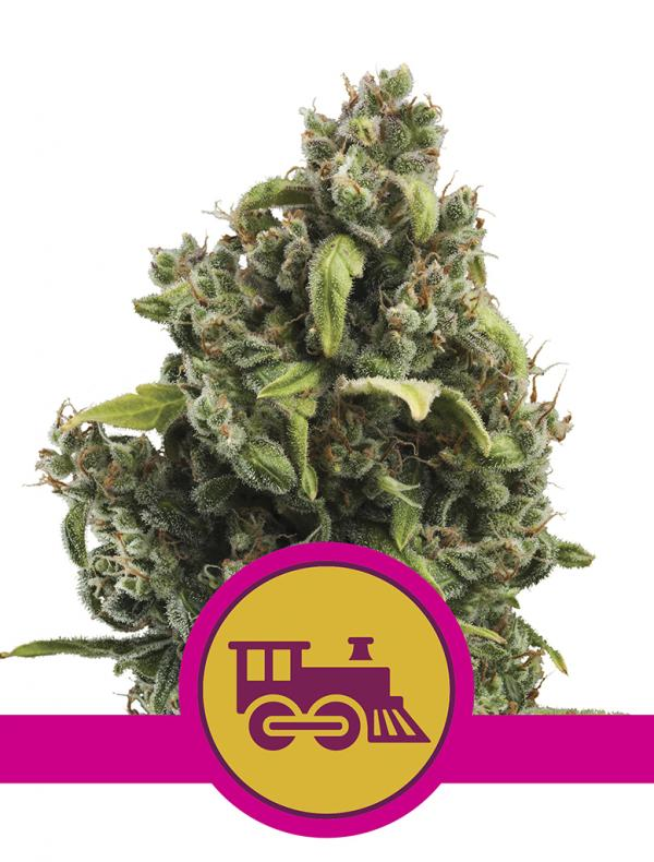 Candy Kush Express Fast Version (Pack 3 semillas)