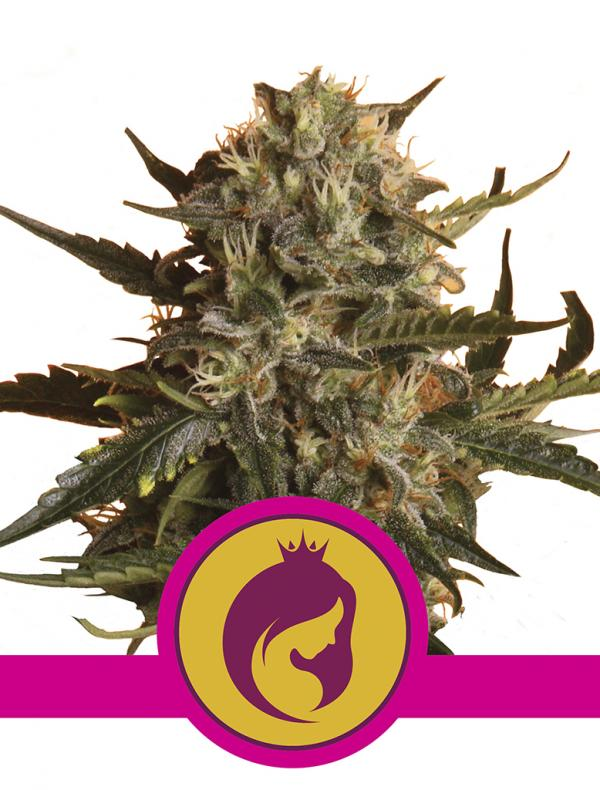 Mother Gorilla (1-seed pack)