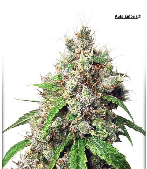 Autoeuforia (Pack 1 semilla)