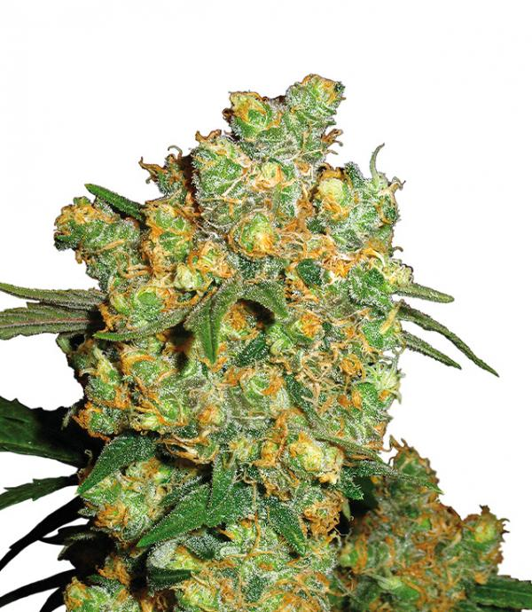 Big Bud (Pack 1 graine)