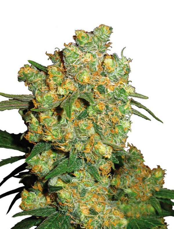 Big Bud (1-seed pack)