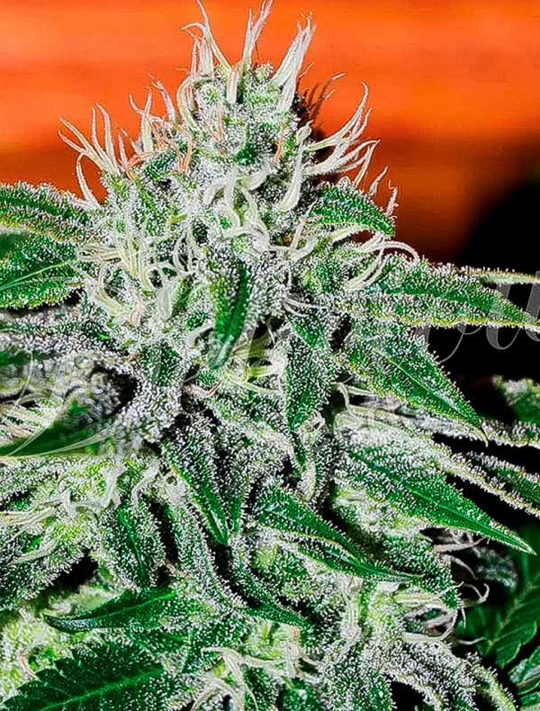 Critical Jack Herer (Pack 3 graines)