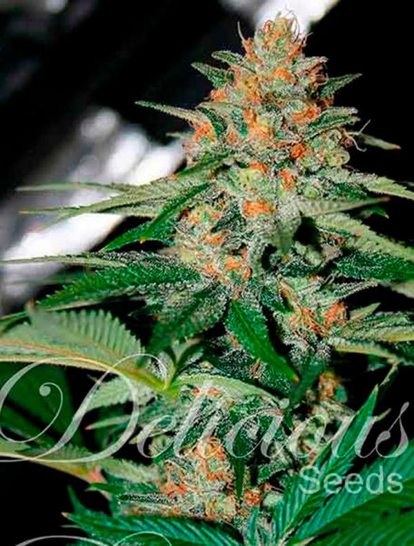 Delicious Candy (7-seed pack)