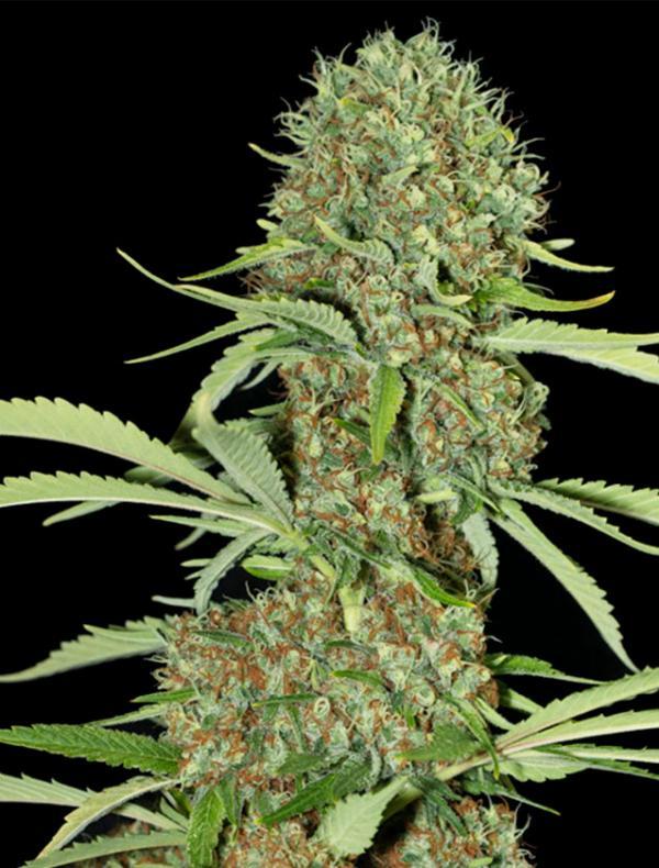 Jamaican Dream (3-seed pack)