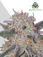 Trans Siberian (3-seed pack)