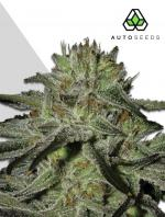 Kush Doctor (3-seed pack)