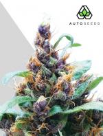 Purple Stilton (5-seed pack)