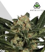 Candy Kush (Pack 3 graines)