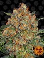 Orange Sherbert (Pack 1 semilla)