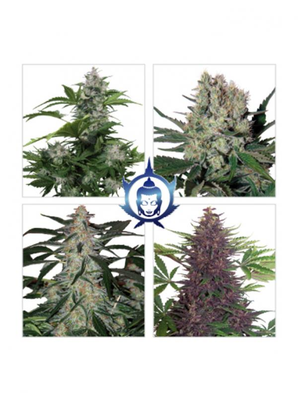 Assorted Auto (10-seed pack)