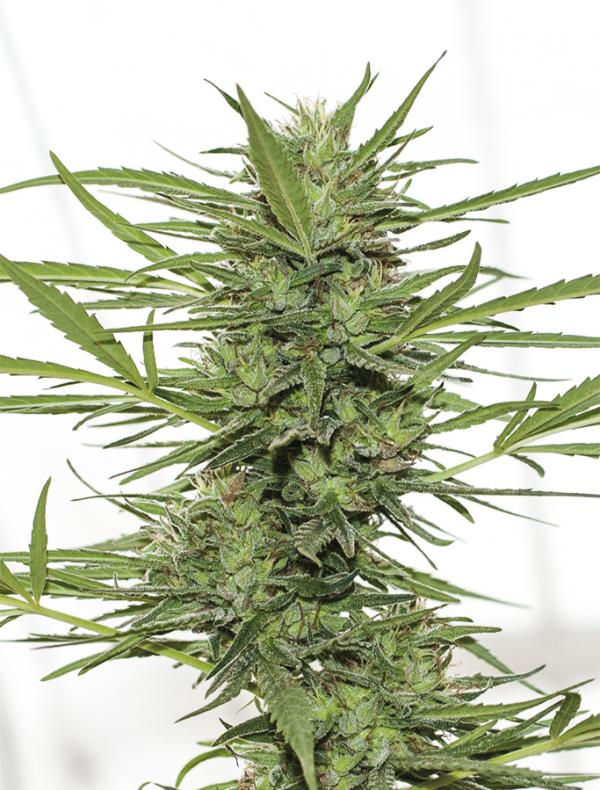 Dr Greenthumb's Dedoverde Haze Auto (3-seed pack)