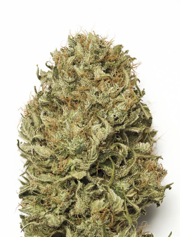 Blue Dream Auto (3-seed pack)