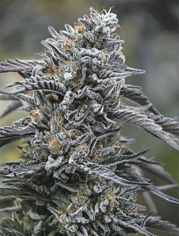 Black D.O.G. (3-seed pack)