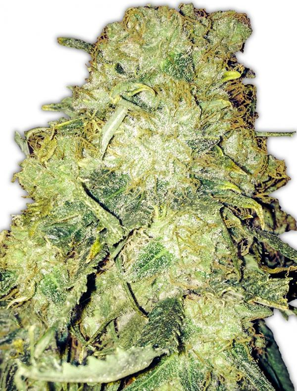 Goldmine (3-seed pack)