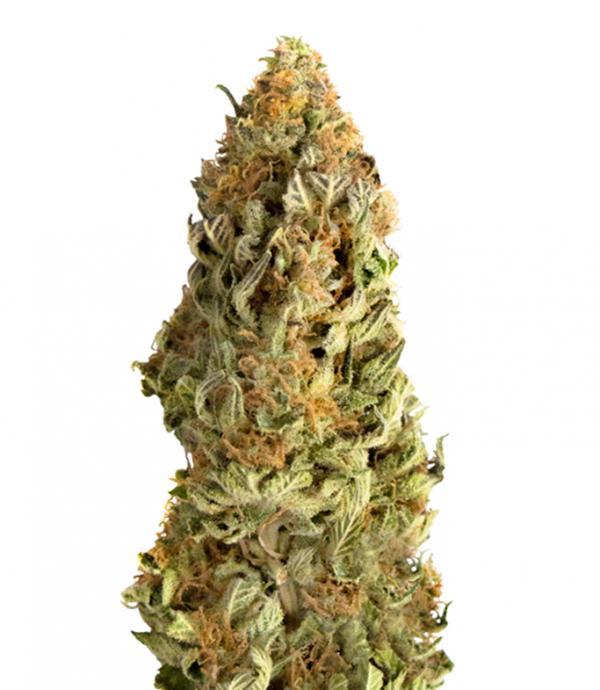 Mega CBD (5-seed pack)