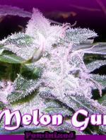 Melon Gum (Pack 2 graines)