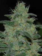 Pure Kush (Pack 5 graines)