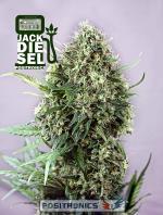 Jack Diesel (Pack 1 semilla)