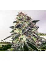 Sticky Dream Express (Pack 5 semillas)