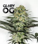 Glory OG (Pack 5 semillas)