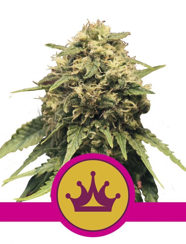 Special Queen #1 (Pack 1 semilla)