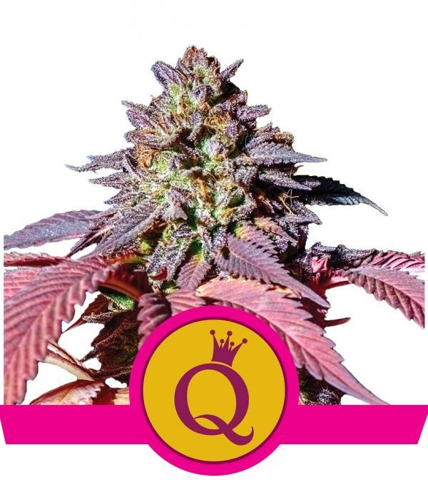 Purple Queen (Pack 1 semilla)
