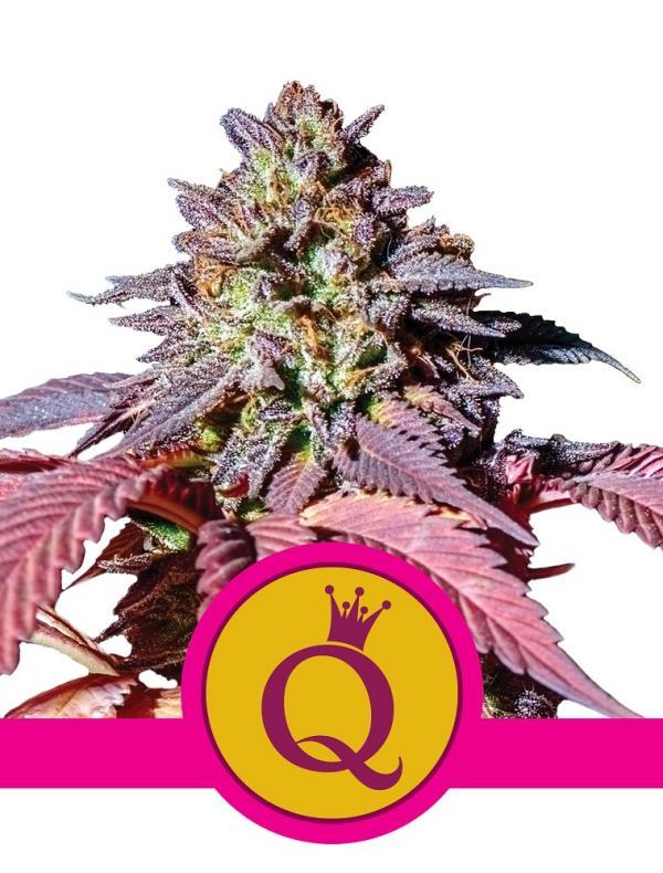 Purple Queen (Pack 1 graine)