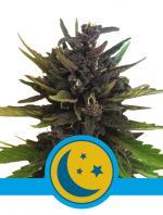 Purplematic CBD (Pack 1 graine)