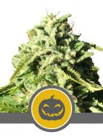Pumpkin Kush (10-seed pack)