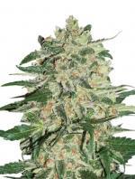 Big Bud (Pack 1 graine)