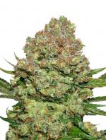 White Widow (1-seed pack)
