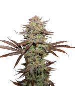 Sticky Fingers Auto (1-seed pack)