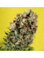 Somativa (5-seed pack)
