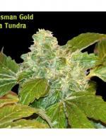 Ata Tundra (Pack 10 graines)