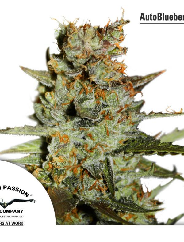 Auto Blueberry (Pack 1 semilla)