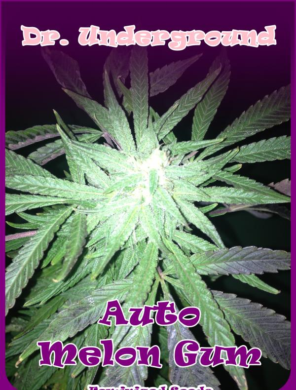 Auto Melon Gum (2-seed pack)