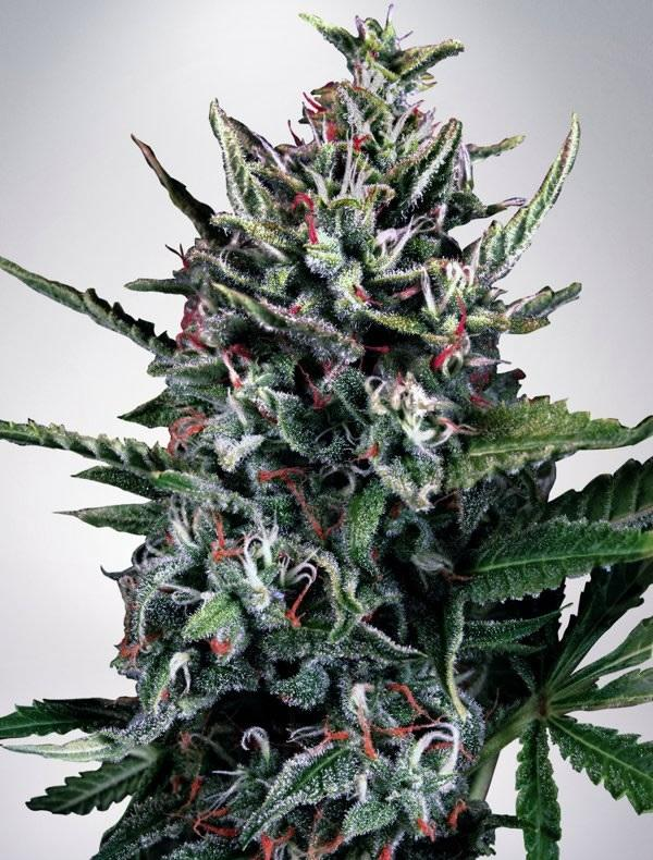 Auto Silver Bullet (10-seed pack)